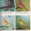 chov kanarikov – antikvariat stary svet 4